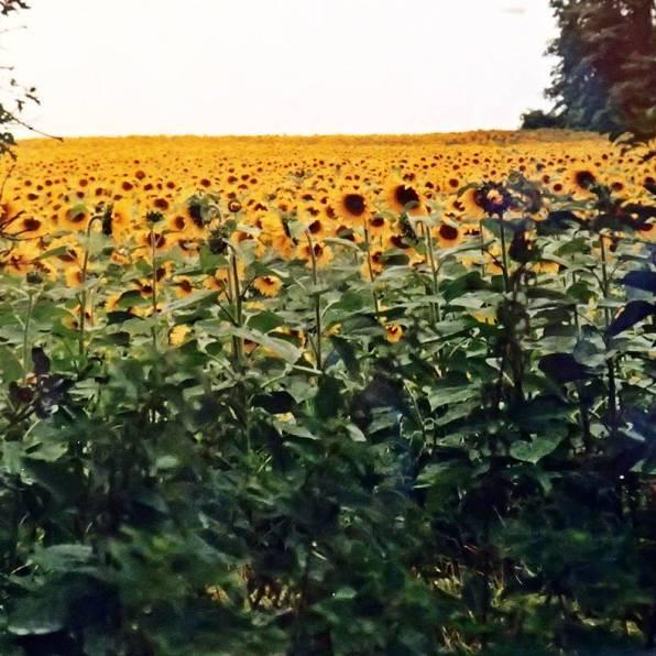 Stora fält med blommande solrosor!