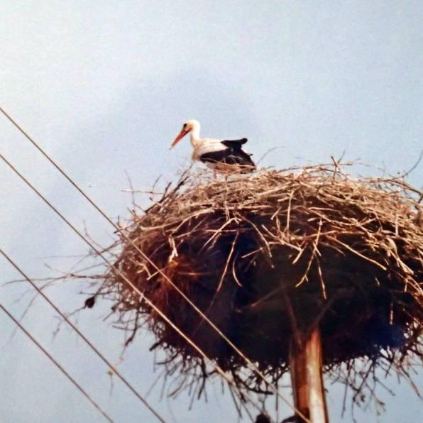 Stork, stork ... stanna, ropade jag när vi passerade genom byarna i Polen ...