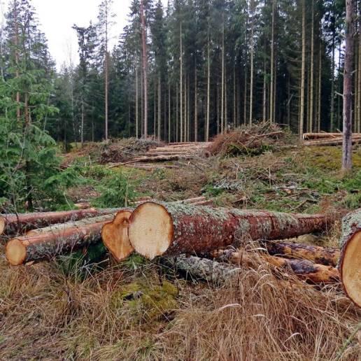 Skogsmaskinernas mullrande kommer allt närmare.