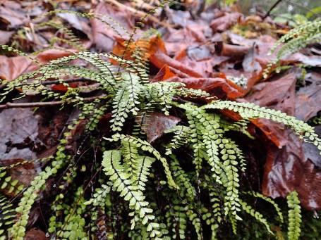 Svartbräken ... en sirlig och vacker ormbunksväxt ...