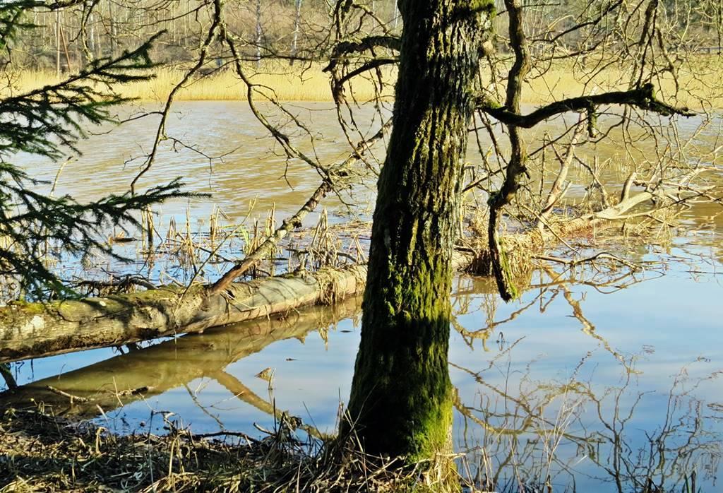 Ett omkullfallet träd som får sluta sina dagar i Orgaåns vatten ... antagligen till glädje för en del andra , som gömställe för fiskar och som viloplats för fåglar.