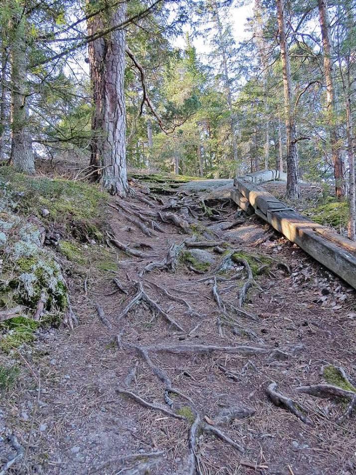 Vid åns inlopp går stigen uppför berget ... många rötter att ha koll på ...
