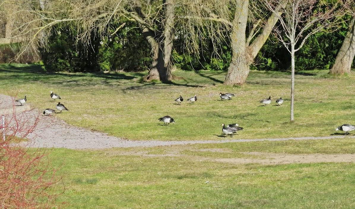 På gräset vid vägen gick ett gäng vitkindade gäss ...
