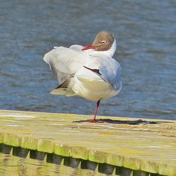 På långt håll ser jag en skrattmås ... en riktig balanskonstnär i blåsten.
