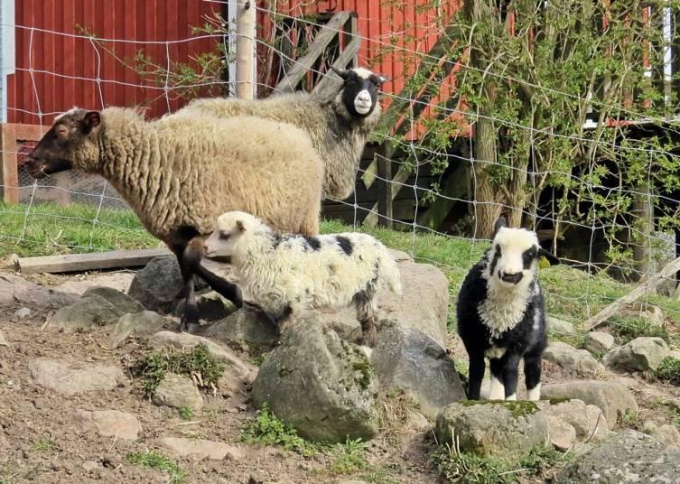 ... gladdes åt de nyss utsläppta lammen ...
