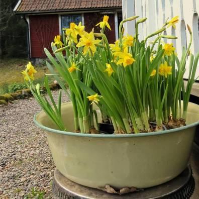 Billiga påskliljor fyra krukor för 20:- ... och 4-5 lökar i varje. Bara att peta ner i jorden så blommar de igen nästa vår.