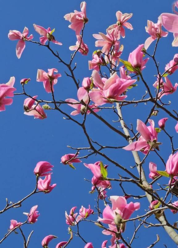 Magnifika magnolior ...