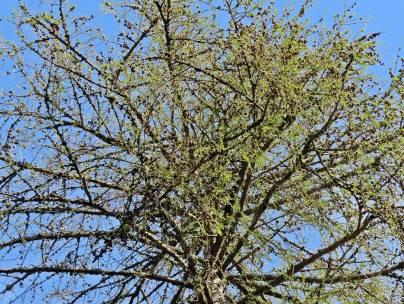 ... och det enda kvarvarande lärkträdet, som börjar grönska