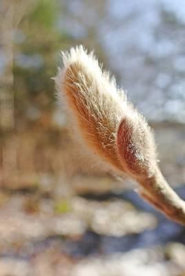 ... Magnoliaknopp ...