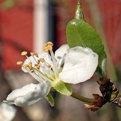 Plommonträdet blommar också.