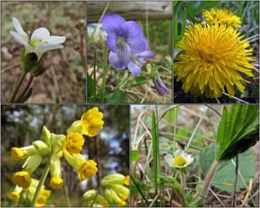 Mandelblom, viol, maskros, gullviva och så har smultronen börjat blomma.