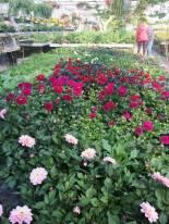 Massor med sommarblommor i växthusen - här några dahlior ...