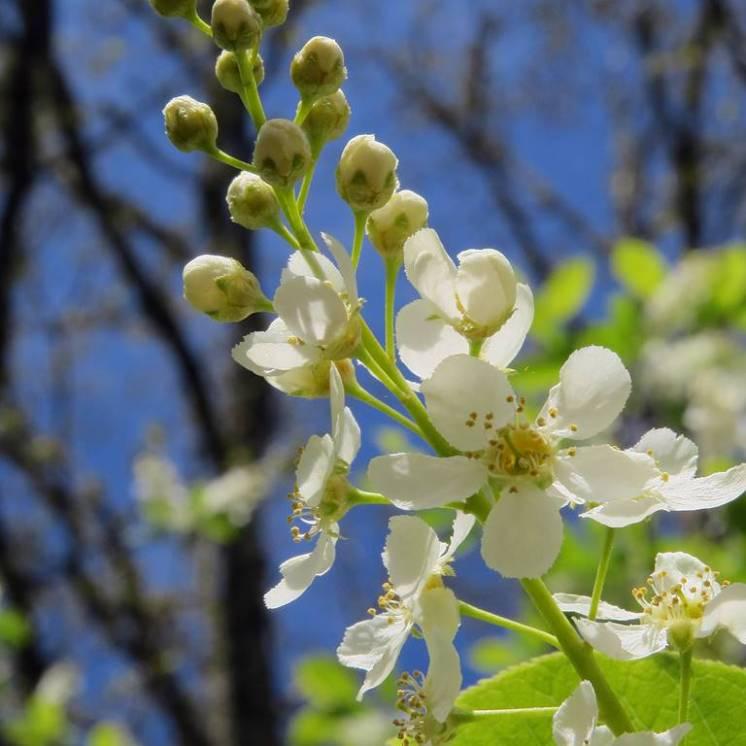 Häggen blommar fint ...