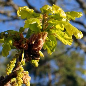Eken blommar, samtidigt med lövsprickningen.