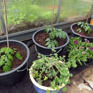 Tre nyinköpta tomatplantor i de svarta hinkarna - och lite blommor