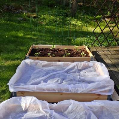 Åtta nyplanterade jordgubbsplantor längst bort ... under fiberduken finns sallad, rädisor, dill och morötter .